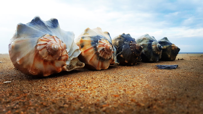Whelks Versus Conchs: What's the Difference?